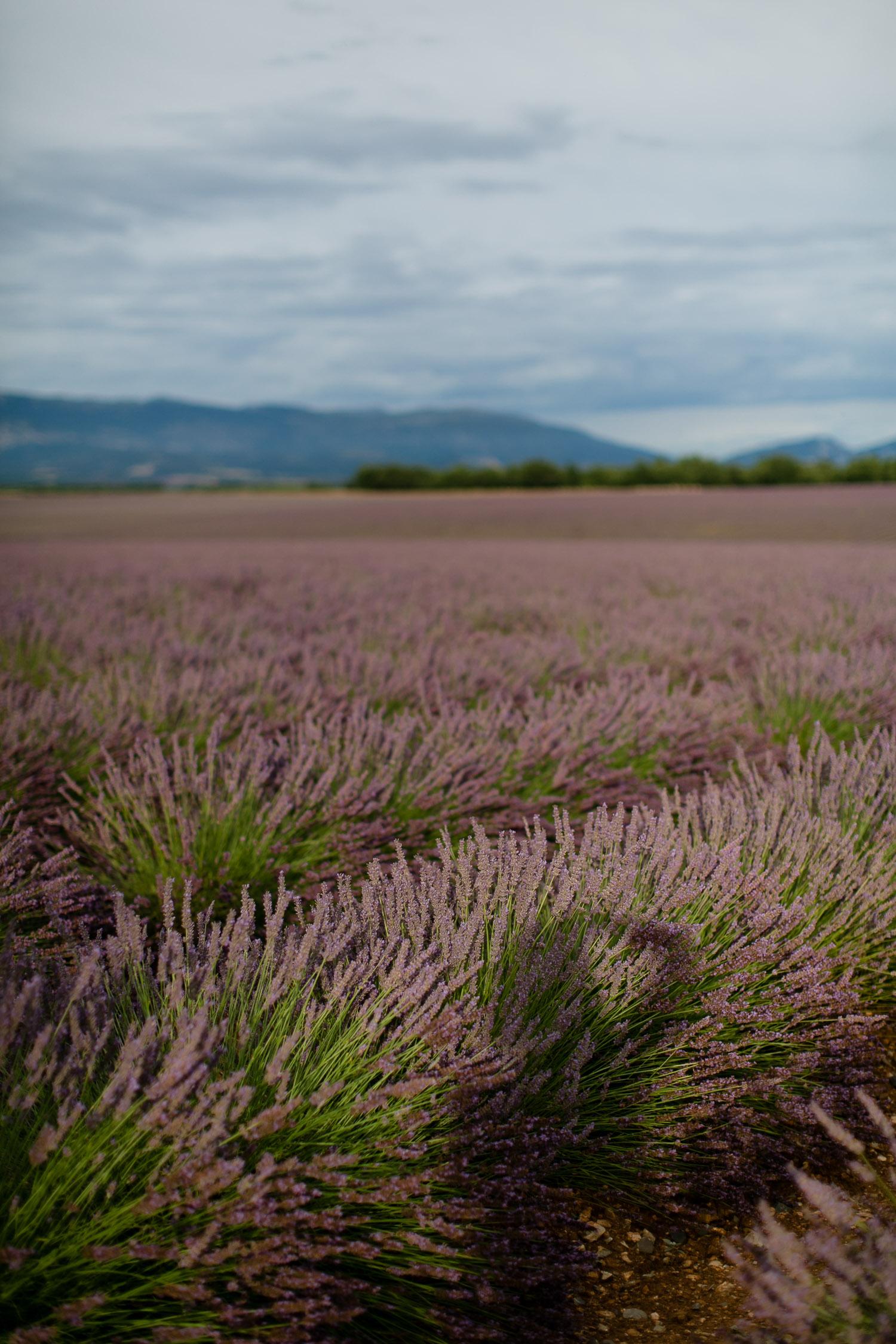 Lavendelfelder von Valensole